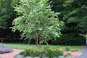commemorable tree