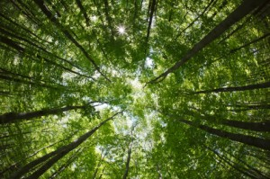 spring forest treetops (intentionally distorted image; shot with