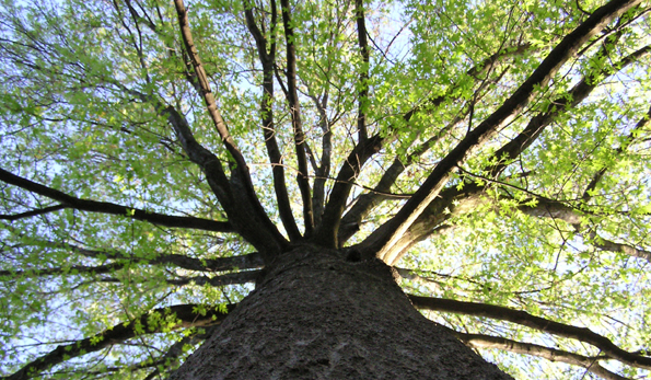 Staring up at a large maple tree.