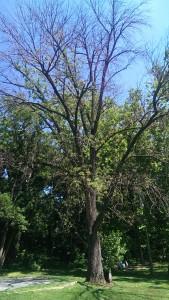 Dead ash tree Doctor's Run Park