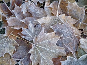 Leaves with frost.