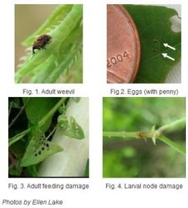 Mile-a-Minute Weevil
