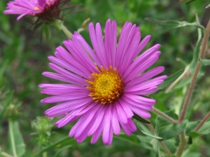 Aster, photographed in the 8th street Green Street rain garden.
