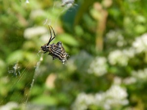 spiny micrathena upside down
