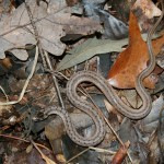 Northern Brownsnakes (Storeria dekayi dekayi)
