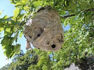 b faced hornets nest