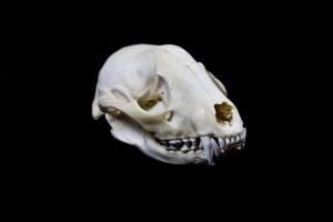 Raccoon Skull on Black Background