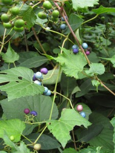 Porcelainberry is easily mistaken for grape when not in fruit, but is not edible and is an invasive nonnative vine.