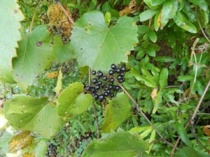 Riverbank Grape (Vitis riparia) is among the most common of our wild grapes.