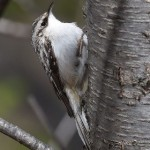 Brown Creeper (Photo: Andy Reago & Chrissy McClarren, Wikimedia Commons)