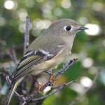 Ruby-crowned and Golden-crowned Kinglet (Photo: Donna Dewhurst, UF&WS, Wikimedia Commons)