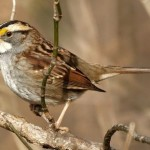 White-throated Sparrow (Photo: Mike's Birds, Wikimedia Commons)