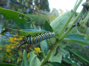 A Monarch caterpillar feeding on Common Milkweed.