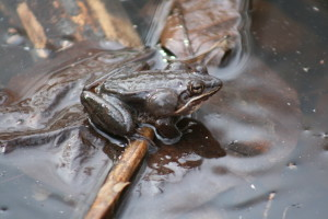 Wood Frog Vocal Sac