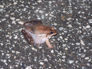 Wood Frog Brecksville Reservation 033106
