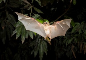 fruit bat flying at night