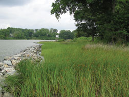 Photo of a living shoreline (photo from Center for Coastal Resources Management)