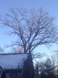 Oak looms over house