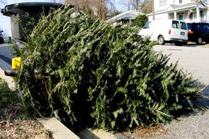 christmas tree collection - Christmas Tree Removal